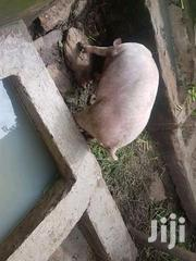 Pregnant Pig For Sale | Livestock & Poultry for sale in Murang'a, Ithanga