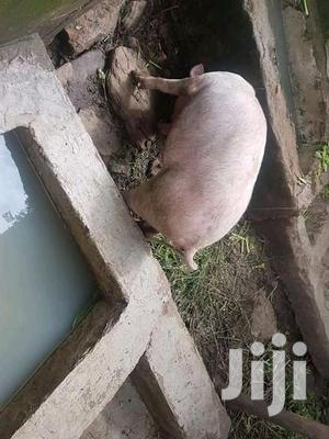Pregnant Pig For Sale