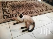 Baby Male Purebred Siamese Cat | Cats & Kittens for sale in Mombasa, Tudor
