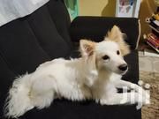 Young Male Mixed Breed Japanese Spitz | Dogs & Puppies for sale in Kiambu, Ruiru