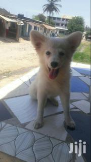 Baby Female Purebred Pomeranian | Dogs & Puppies for sale in Mombasa, Bamburi