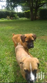Baby Female Purebred Boerboel | Dogs & Puppies for sale in Kajiado, Ongata Rongai