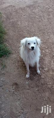 Young Male Mixed Breed Japanese Spitz | Dogs & Puppies for sale in Kiambu, Thika