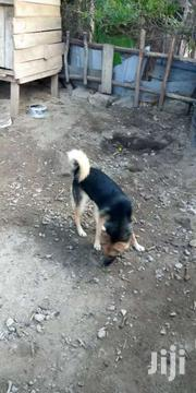 German Shepherd Mixed Japanese Spits | Dogs & Puppies for sale in Nairobi, Ruai