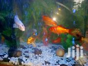 Gold Fishes | Fish for sale in Kiambu, Juja