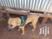 Young Female Purebred Boerboel | Dogs & Puppies for sale in Migori, Central Sakwa (Awendo)