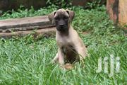 Young Male Purebred Boerboel | Dogs & Puppies for sale in Busia, Ageng'A Nanguba