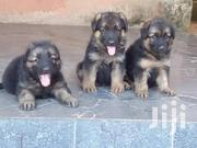 Young Female Purebred German Shepherd Dog | Dogs & Puppies for sale in Nairobi, Nairobi Central