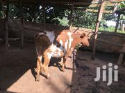 Ashire 6 Months In Calf | Livestock & Poultry for sale in Nairobi, Uthiru/Ruthimitu