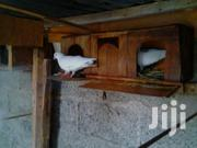White Pigeons/Doves | Birds for sale in Uasin Gishu, Kapsaos (Turbo)