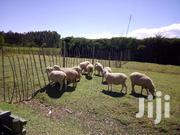Collindale, Hampshire And Dorper Sheep | Livestock & Poultry for sale in Nyandarua, Nyakio