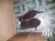 Baby Female Mixed Breed | Cats & Kittens for sale in Nairobi, Nairobi Central
