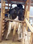 Dairy Farm Animals | Livestock & Poultry for sale in Githunguri, Kiambu, Kenya
