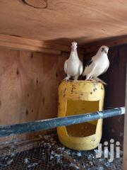 Short Beaks Pigeons | Birds for sale in Mombasa, Mji Wa Kale/Makadara