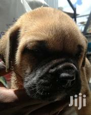 Excellent Purebred Boerboel Puppies | Dogs & Puppies for sale in Machakos, Athi River