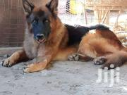 German Shepherd Giant Size Fully Trained | Dogs & Puppies for sale in Nairobi, Ruai