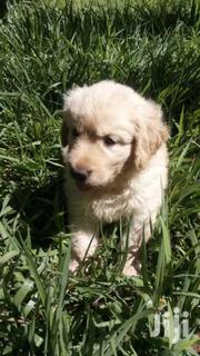 Golden Retriever Puppies | Dogs & Puppies for sale in Nairobi, Karen