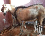 Pure Breed Alpine Buck | Livestock & Poultry for sale in Mombasa, Likoni