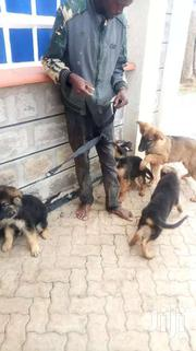 Visions Dogs Trainers | Dogs & Puppies for sale in Kajiado, Kitengela
