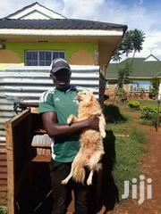 Chiwawa Dogs | Dogs & Puppies for sale in Siaya, West Asembo