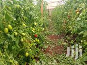 Fresh Tomato With Long Shelve Life | Meals & Drinks for sale in Kiambu, Mang'U
