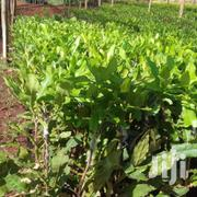 Grafted Macadamia Seedlings | Meals & Drinks for sale in Nairobi, Nairobi Central