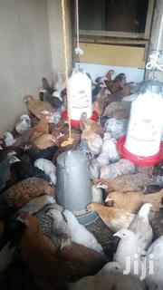 1 Month Old Improved Kienyeji Chicks | Livestock & Poultry for sale in Busia, Nambale Township