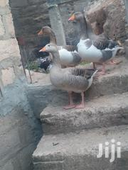 Matured Goose | Livestock & Poultry for sale in Mombasa, Likoni