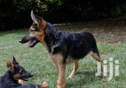 PURE BREED GERMAN SHEPERDS | Dogs & Puppies for sale in Nairobi, Kitisuru