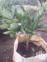 Orange Seedlings Grafted And With Fruits   Feeds, Supplements & Seeds for sale in Nairobi, Ngando