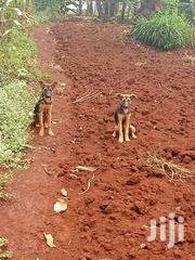 Baby Female Mixed Breed German Shepherd Dog | Dogs & Puppies for sale in Nairobi, Nairobi Central