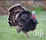 Turkey And Goose | Livestock & Poultry for sale in Nakuru, Nakuru East