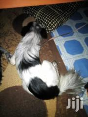 Young Female Mixed Breed Japanese Spitz   Dogs & Puppies for sale in Nairobi, Nairobi Central