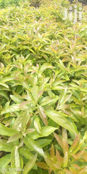 Archive: Hass Seedlings