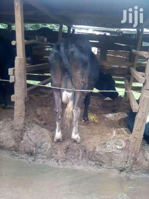 Archive: Cow On Sale 20ltrs Milk Per Day At Githunguri