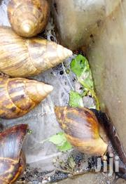 Snails| Snail Shell | Shells | Other Animals for sale in Nairobi, Pangani