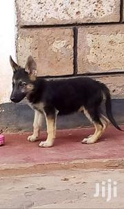 German Shepherd Puppies | Dogs & Puppies for sale in Isiolo, Wabera