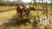 One Week To Birth Heifer | Livestock & Poultry for sale in Nakuru, Nakuru East