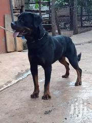 Pure Male Rottweiler | Dogs & Puppies for sale in Kiambu, Ting'Ang'A