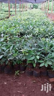 Harss Avocados | Meals & Drinks for sale in Murang'a, Makuyu