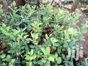 Macadamia (Muranga 20') Available. | Feeds, Supplements & Seeds for sale in Embu, Mbeti North