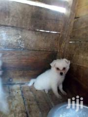 Japanese Spits | Dogs & Puppies for sale in Kisumu, Kondele