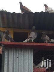 Matured Pigeons | Birds for sale in Kiambu, Ndumberi