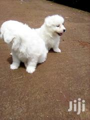 Young Female Purebred Maltese | Dogs & Puppies for sale in Nairobi, Nairobi Central