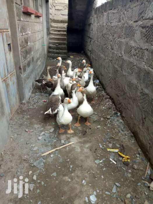 Mature Geese