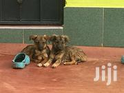 German Shepherd & Black German Shepherd | Dogs & Puppies for sale in Kiambu, Kikuyu