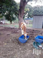 2 Dairy Cows Plus 3 Calves @200,000   Livestock & Poultry for sale in Kilifi, Mtepeni