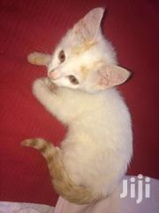 Pure White Male Kitty | Dogs & Puppies for sale in Nairobi, Kasarani