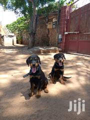 Young Male Purebred Rottweiler | Dogs & Puppies for sale in Mombasa, Bamburi
