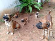 Pure  Pedigree Boerboel Puppy | Dogs & Puppies for sale in Kilifi, Shimo La Tewa